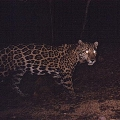 jaguar. no longer present in area. One was killed near Springer in the 1930s