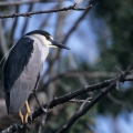 Black Crowned Night Heron by Mack Brown