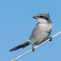 Loggerhead Shrike by Mack Brown