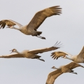 Sandhill Cranes by Mack Brown