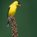 American Goldfinch by Mack Brown