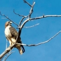 Red Tailed Hawk at Wind River Ranch. Photo by Clyde Mueller/The New Mexican